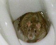 rat_rattenbio_klo_g.jpg